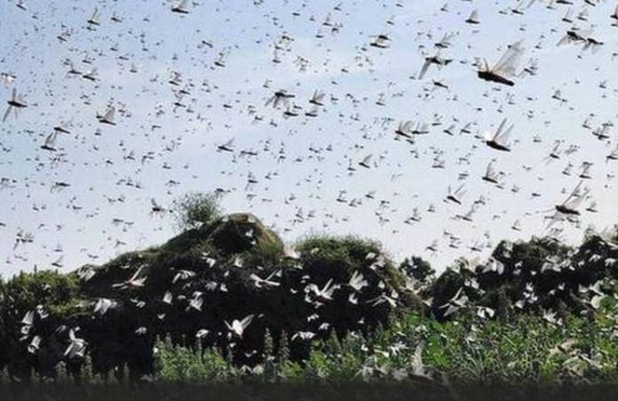 Huge swarms of locusts have been arriving from desert areas of Pakistan