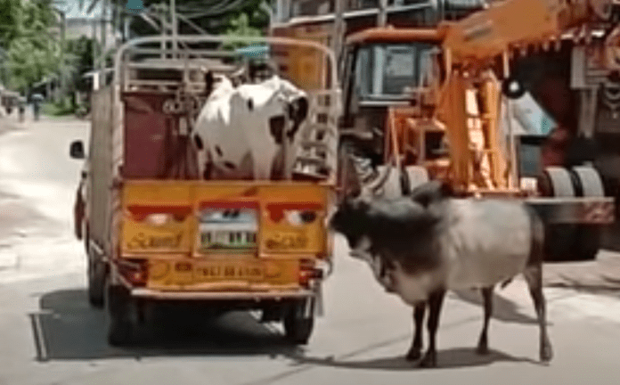 A touching video of a bull trying to stop the vehicle transporting cow has been doing rounds on internet