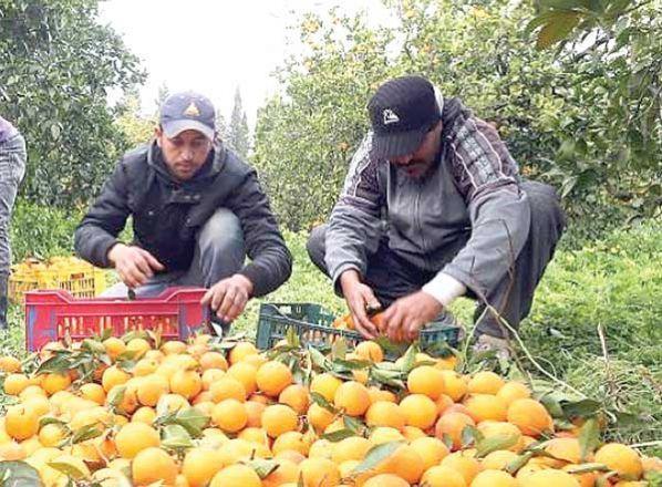 La naranja es el cítrico que tiene una mayor producción en Bolivia