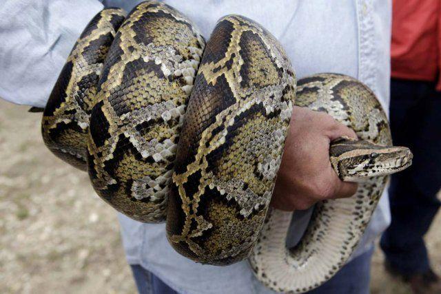pythons-birmans