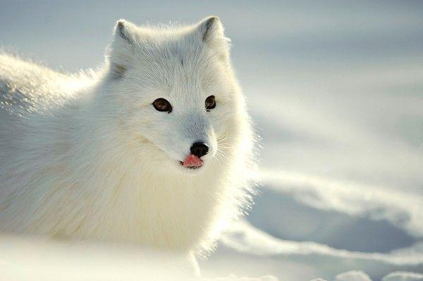 arctic fox [Alopex lagopus] in snow with white winter fur