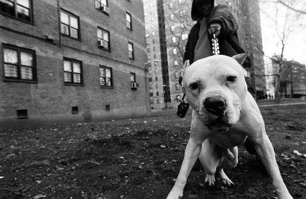 boogie-solo-pitbull