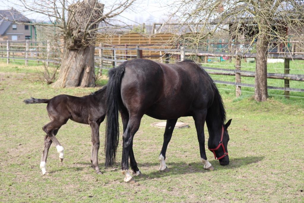 Zwart veulen met moederpaard