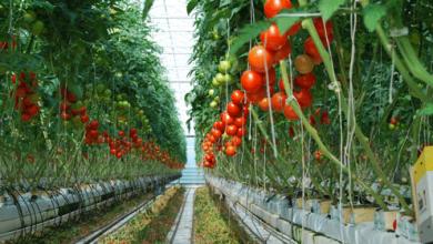 Photo of México cede en precios de exportación de tomate a EU
