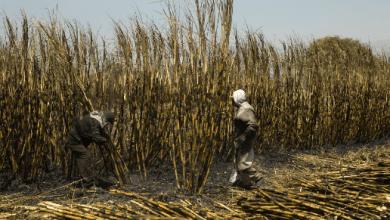 Photo of Parte del azúcar cruda de México lleguará a los refinadores de EE.UU: Guajardo