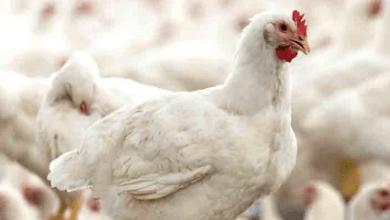 Photo of Bachoco opera 518 granjas de pollos en México y 122 productoras de huevos
