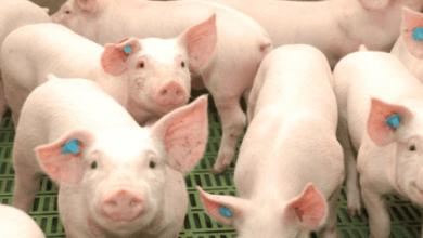 Photo of México aumentó 12% sus importaciones de carne de cerdo de EEUU en 2017