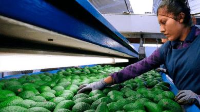 Photo of Cerveza y aguacate lideran exportaciones agroalimentarias de México