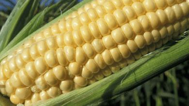 Photo of México será el mayor importador de maíz en 2017-2018: USDA