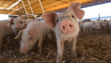Photo of México pide apertura a Estados Unidos para la carne de cerdo