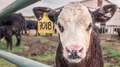 Photo of EU podría triplicar exportaciones de carne de res a la UE