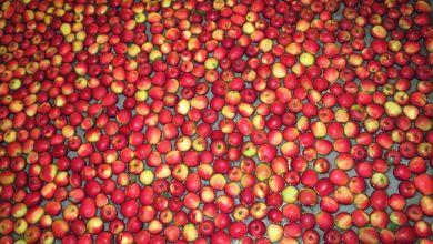 Photo of Los 10 mayores exportadores de manzanas del mundo