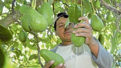 Photo of México reanuda exportaciones de aguacate al mundo