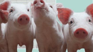 Photo of Abre UE cupo para importaciones de jamones mexicanos de cerdo