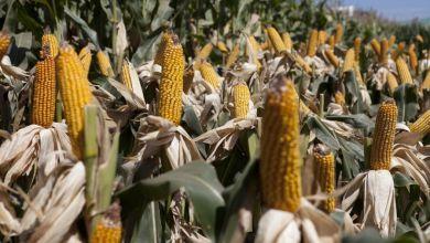 Photo of México bate récord en importaciones de maíz en 2018