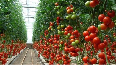 Photo of Rompen récord exportaciones mexicanas de tomates en 2018