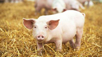 Photo of Crece producción mexicana de carne de cerdo año tras año