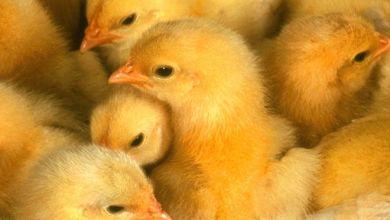 Photo of Pilgrim's vendió US$ 1,329 millones de pollo en México