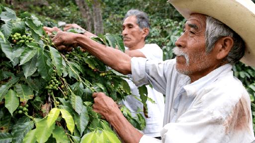 Caficultores de Veracruz deploran abandono del gobierno