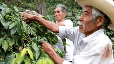 Photo of La inversión de Nestlé y sus planes para comprar café Robusta