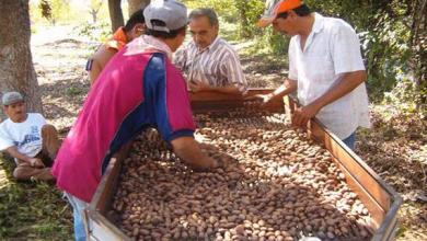 Photo of México duplica sus exportaciones de nueces de nogal