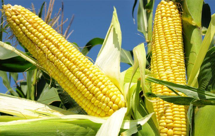 También las compras y los compromisos de compras de los otros principales importadores de maíz estadounidense (Japón, Corea del Sur, Colombia y Perú) registraron tasas interanuales negativas.