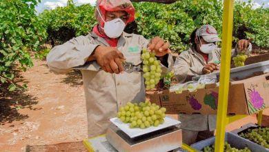 Photo of Sonora ya puede exportar uva de mesa a Corea del Sur