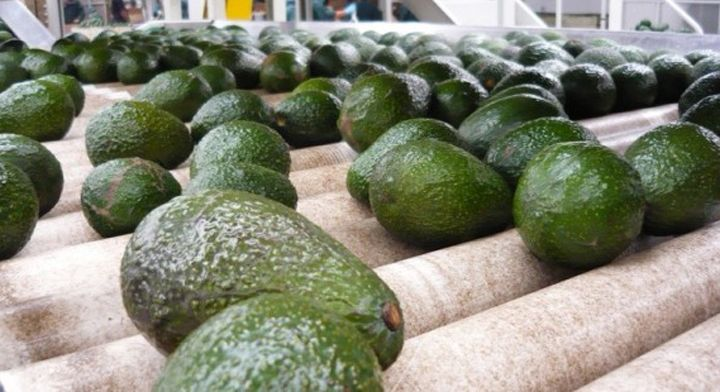 Mientras México exportó aguacate por un valor de 2,392 millones de dólares, los Países Bajos lo hicieron por 734 millones de dólares.