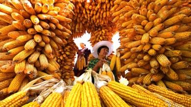 Photo of Producción de maíz caerá en México y el mundo