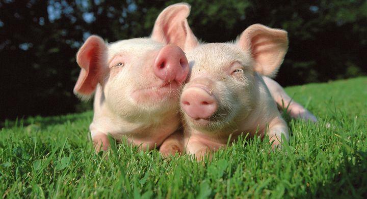 El negocio Porcícola de Grupo KUO es el mayor productor de carne de cerdo en México
