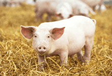Photo of Producción de carne de cerdo sube en México y el mundo
