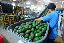 Photo of Los 5 mayores exportadores de aguacate a Estados Unidos