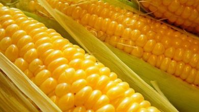 Photo of Brazil will eliminate tariffs on imports of corn, soybeans and rice