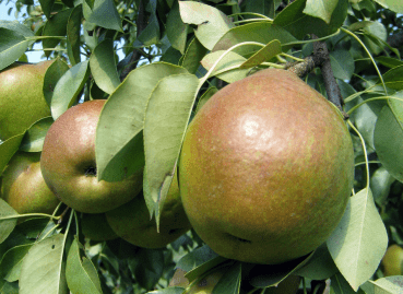 The United States dominates exports of pears to Mexico, especially with the supply of the states of Oregon and Washington, according to statistics from the Department of Agriculture (USDA).