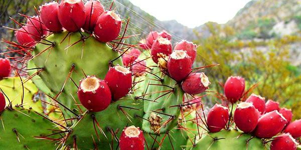 Mexico and Algeria are negotiating a Cooperation Agreement on research and development of opuntia ficus indica SPP (Prickly pear cactus) and a Memorandum of Understanding on cooperation in fisheries and aquaculture matters.