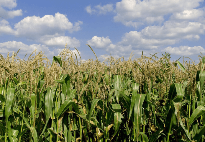 Mexico's corn exports increased 6.7% in 2020, to $ 271 million, according to statistics from the Ministry of Economy.