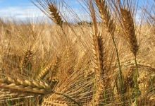 FAO's forecast for world cereal trade in the 2020/2021 season was increased by 10.6 million tonnes from December, to 465.2 million tonnes.