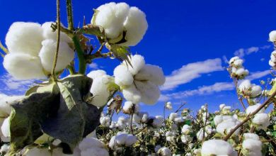 México alcanzaría exportaciones de algodón de 0.4 millones de pacas en el ciclo 2021/2022, según proyecciones del USDA. Mexico would achieve cotton exports of 0.4 million bales in the 2021/2022 cycle, according to USDA projections.