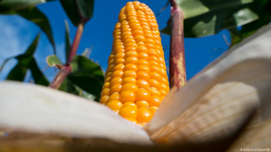 Varios grupos y empresas agrícolas de México están trabajando para entablar amparos contra un decreto relacionados con el maíz transgénico, indicó el Departamento de Agricultura de Estados Unidos (USDA). Several agricultural groups and companies in Mexico are working to file appeals against a decree related to transgenic corn, the United States Department of Agriculture (USDA) said.