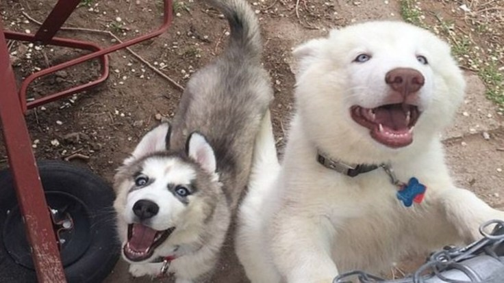 Image result for 4-Year-Old Child Playing With A Siberian Husky Gets His Arm Bitten Off