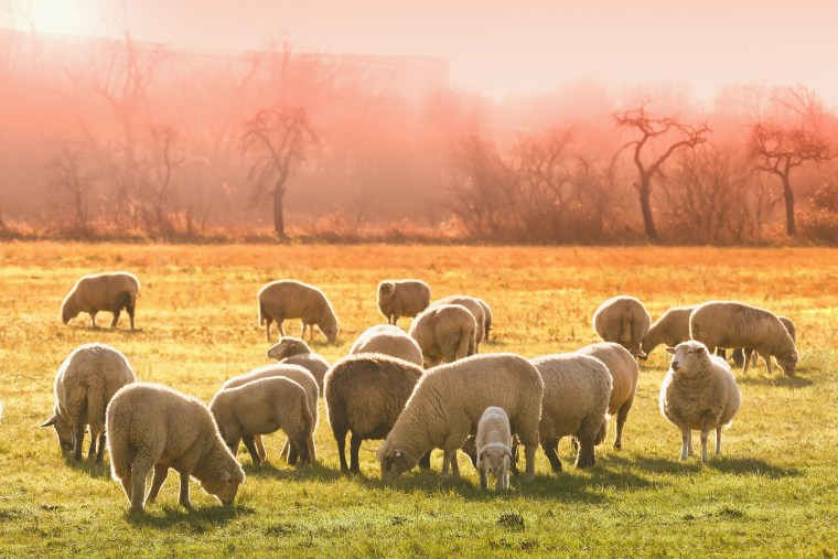 Ransomware Attack On Wool Industry Halted Sales Across Australia Last Week