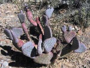 Opuntia basilaris ramosa