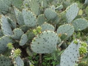 Opuntia tardospina