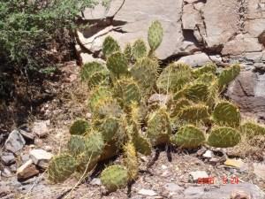 Opuntia cyclodes