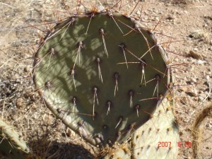 Opuntia gilvescens