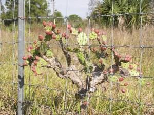 Opuntia polycarpa