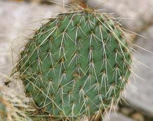 Opuntia strigil
