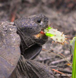 Tortoise Eating Opuntia