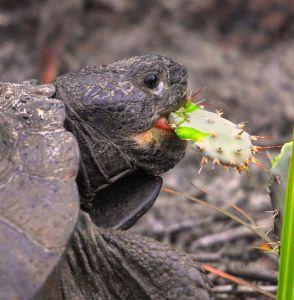 Tortoise Eating Opuntia