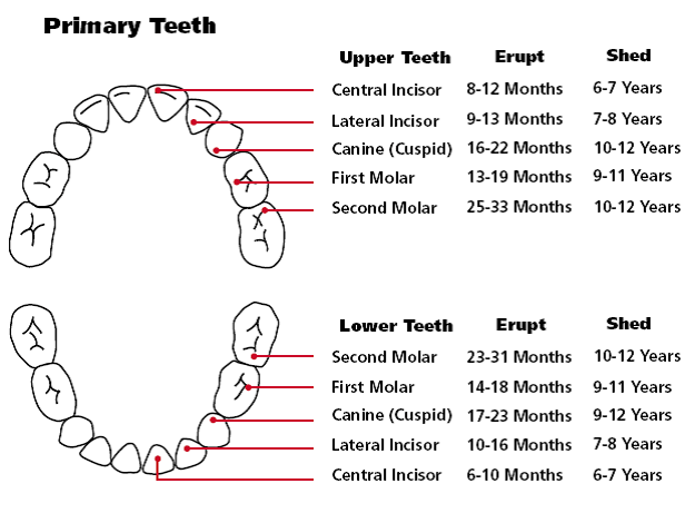 Teething chart also order of appearance orajel rh